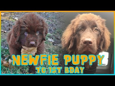 INSANELY CUTE Newfoundland Puppy to 1st Birthday - Newfventures
