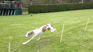 Training Greyhound Son en Breugel 6 april 2019
