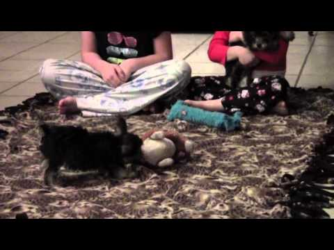 Snorkie Puppies For Sale|150 Shipping Raleigh NC