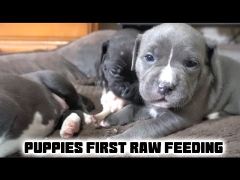 Puppies First Raw Feeding - 4 Weeks Old!!