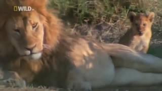 Хищники убийцы Африки  Саванна  Лев царь зверей  Документальный фильм 720p