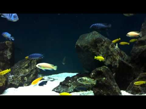 You Choose the Topic - #5 Tank Updates Thursday's - African Cichlid Hub