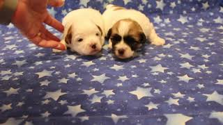 Coton Puppies For Sale 2/5/20
