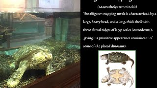 140 Year Old Alligator Snapping Turtle