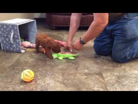 Frankie - toy poodle