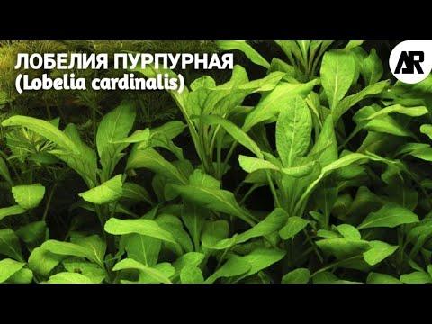 Лобелия Пурпурная | (Lobelia cardinalis).