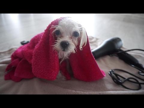 Kupamo i sređujemo psa maltezera Tiaru ❤ SabrinaTubic