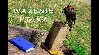 Sokolnictwo Podstawy - Ważenie Ptaka