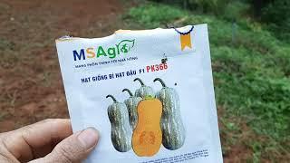 kĩ thuật trồng bí đỏ p1: làm đất, gieo hạt