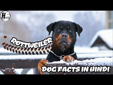 Rottweiler Dog Facts | Hindi | Dog Facts | HINGLISH FACTS