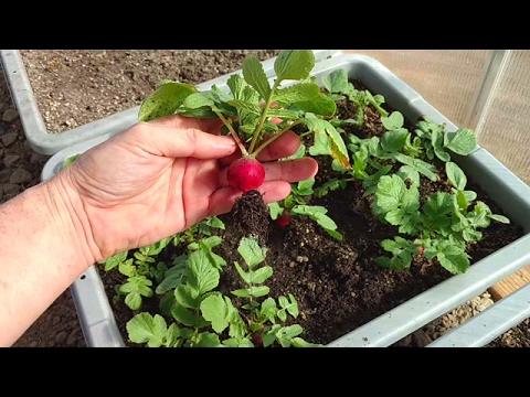 Winter Garden Update Greenhouse Snow Ice Radish Harvest Lettuce Grow Cold Frame Container