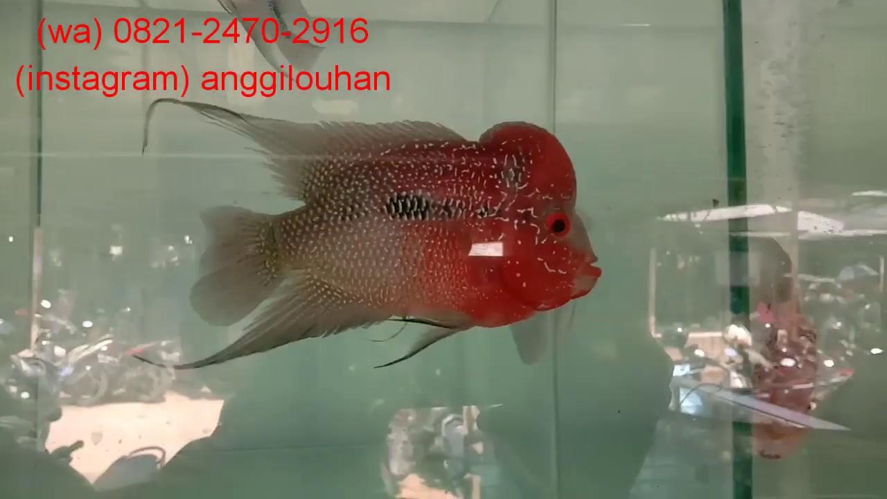 Harga terbaru louhan SRD Super Red Dragon || pasar ikan hias Parung Bogor