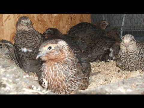 japanese quail farming...