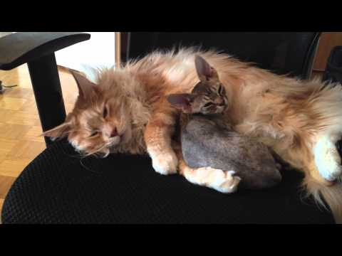 Maine Coon and Devon Rex cats cuddle