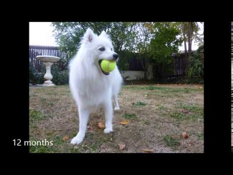 Japanese spitz, 8weeks to 18 months