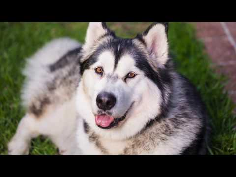 Alaskan Malamute | from Puppy to Adult