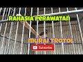 Cara Perawatan Murai Batu Trotol Agar Cpet Gacor   Mp3 - Mp4 Download
