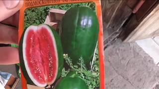 Сею арбузы в открытый грунт