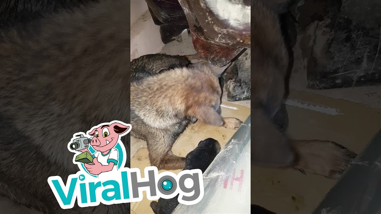 Tiny Puppy Rescue || ViralHog