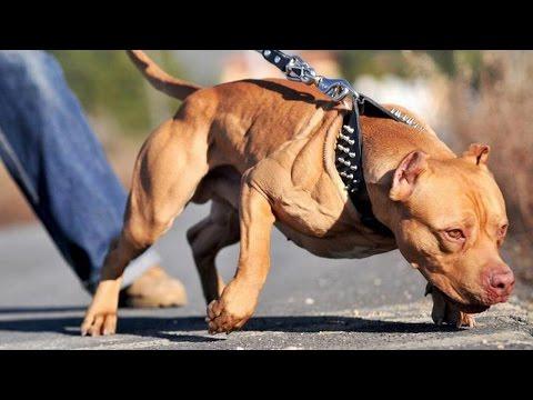 Pit Bull Dog Breed