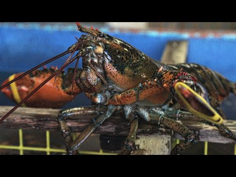 The Secret Ingredient That Makes Maine Lobster So Delicious Is Being Threatened | ABC News