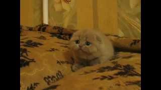 Шотландская вислоухая девочка питомник Greycat www.grey-cats.ru