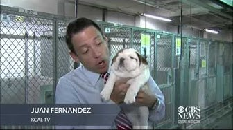 English Bulldog puppies rescued in Calif.
