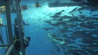 cage diving with great white sharks of isla guadalupe mexico