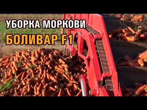 Уборка моркови БОЛИВАР F1 в Павлодарской области