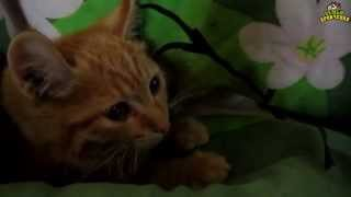 Семья Бровченко. К нам пожаловал котенок Персик. Как приручать кота. (08.15г.)