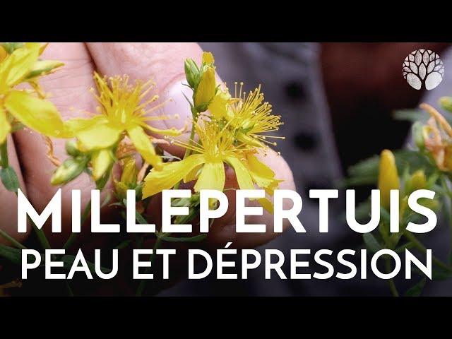 Le millepertuis, plante de la dépression et de la peau