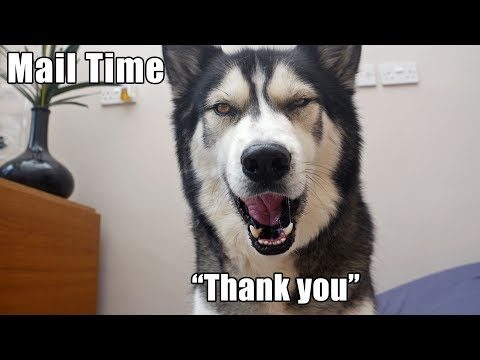 key-the-husky-says-perfect-'thank-you'-while-opening-his-mail!