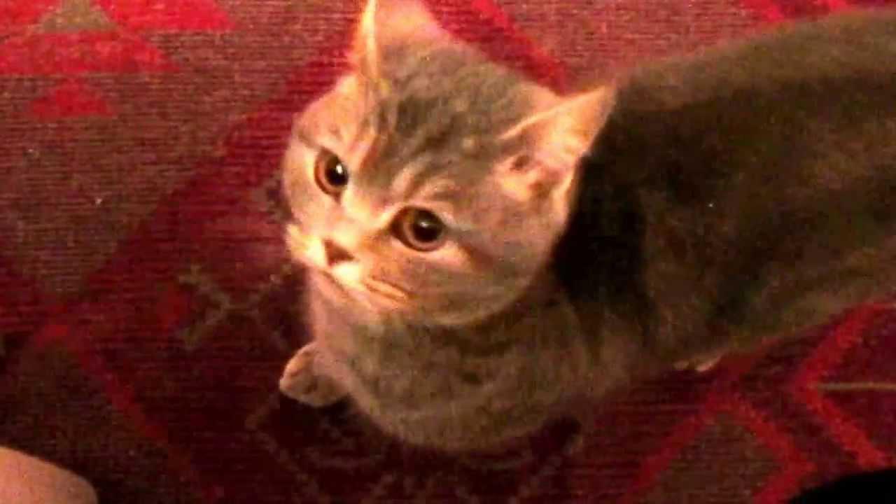 Звуки кота скачать бесплатно