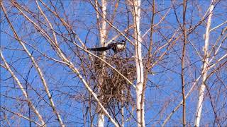 Две 🦅 сороки вьют ложное гнездо на берёзе (Pica pica). Relax Musical.