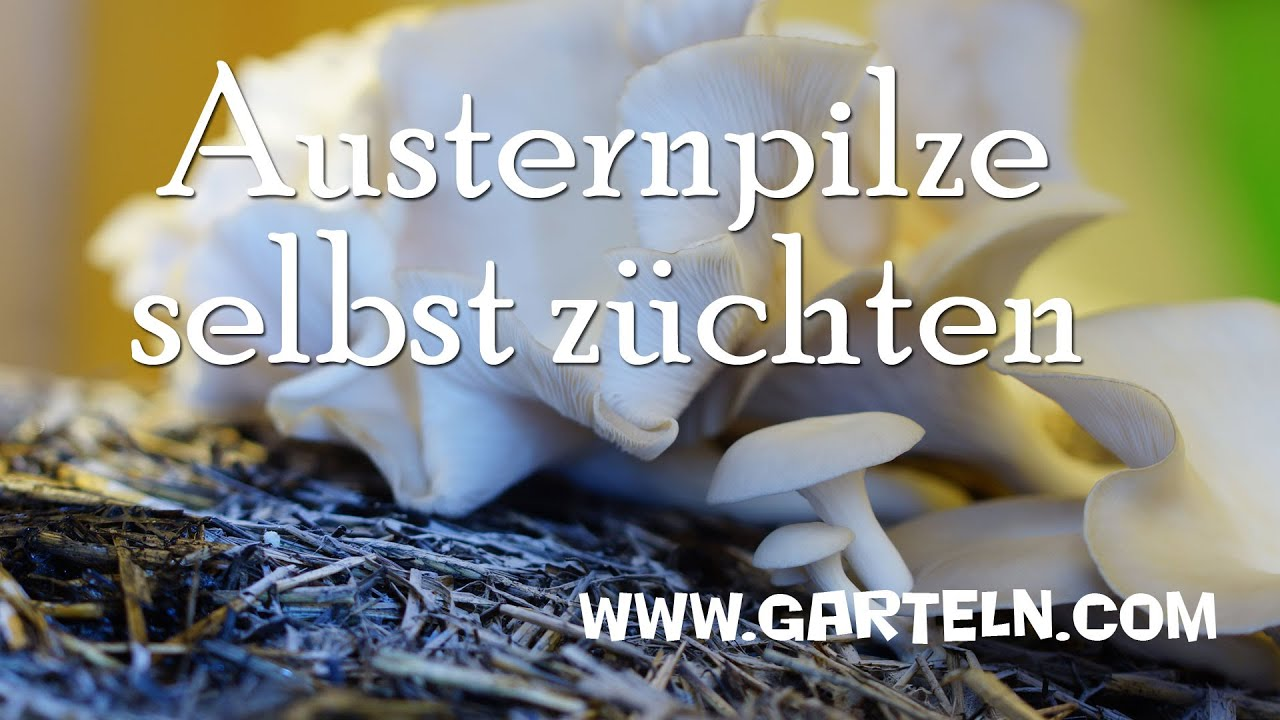 austernpilze selbst z chten pleurotus ostreatus youtube. Black Bedroom Furniture Sets. Home Design Ideas
