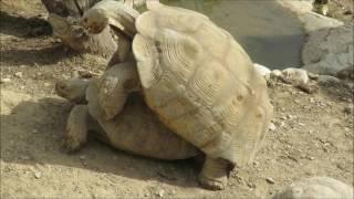 rocco sifreddi la tortue