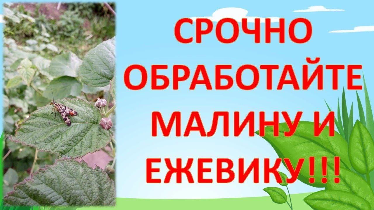 СРОЧНО ОБРАБОТАЙТЕ так МАЛИНУ И ЕЖЕВИКУ ОТ ВРЕДИТЕЛЕЙ. Выращивание малины и ежевики.