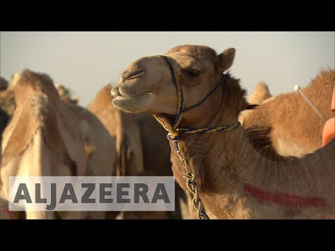 Thumbnail: Saudi blockade on Qatar sabotages multi-billion dollar camel business