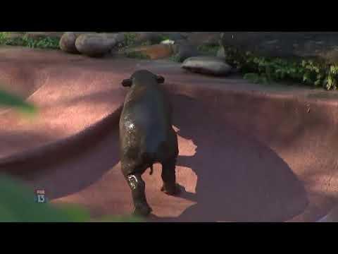 Rare baby pygmy hippo born at Lowry Park Zoo