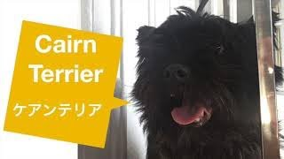Cairn Terrier pet   grooming