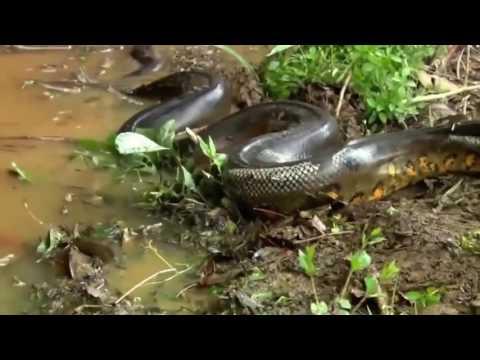 Download Biggest Python Snake   Giant Anaconda vs Gorilla   Baboon    Most Amazing Wild Animals Attacks #20