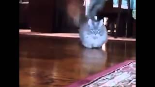 Кот с самыми маленькими лапами / Cat with little paws