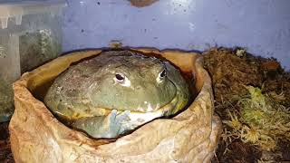 Линька лягушки водоноса. Мерзенько.