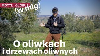 O oliwkach i drzewach oliwnych / Motyl i Globus #10½