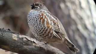 Korean forest in spring: displaying Hazel Grouse Tetrastes bonasia