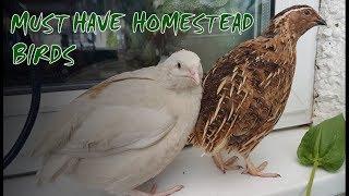 6 Reasons To Keep Quail | Perfect Homestead Birds