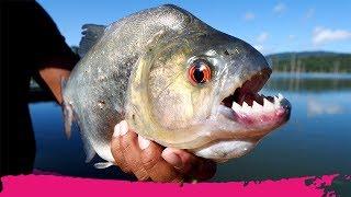 Fishing PIRANHAS for BREAKFAST in the BIGGEST LAKE in Suriname   Stone Island, Suriname