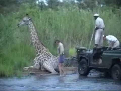 JV rescues a giraffe.