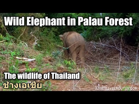 Wild Elephant in Palau Forest Hua Hin ช้างเอเชีย