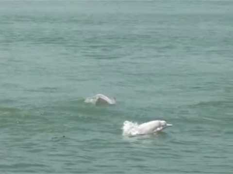 Chinese White Dolphins Part 2